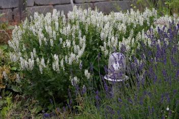 Skogssalvia, Salvia x sylvestris 'Schneehügel'