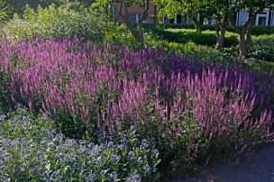 Stäppsalvia, Salvia nemorosa 'Amethyst'