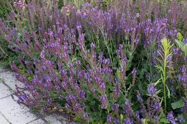 Stäppsalvia, Salvia nemorosa 'Ostfriesland'