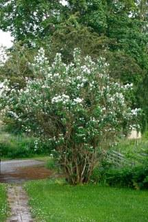 Kameliaschersmin, Philadelphus x virginalis 'Virginal', 60-årig buske