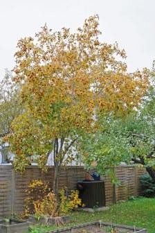Friväxande häckhagtorn, Crataegus flabellata, om hösten