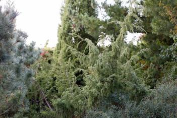 En, Juniperus communis 'Kantarell'