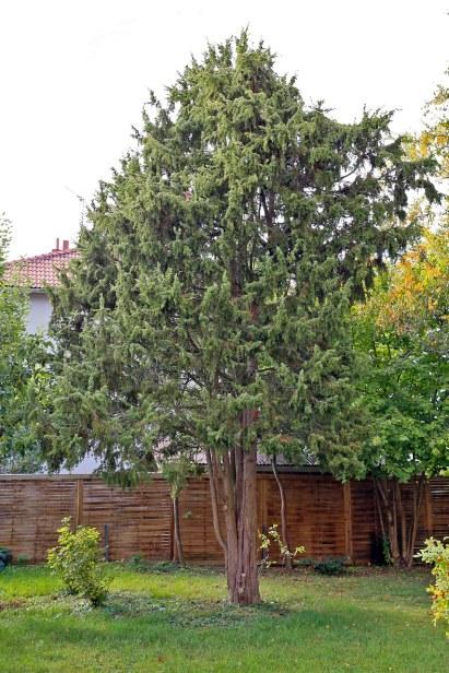 En, Juniperus communis, uppstammad vildform i trädgård