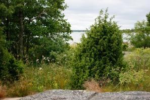 En, Juniperus communis, vildform i Gräsö skärgård