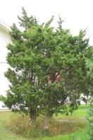 En, Juniperus communis, vildform i trädgård