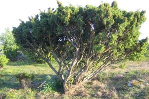 Vildform av en på Gotland