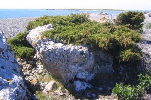 Vildform av en på Gotland.