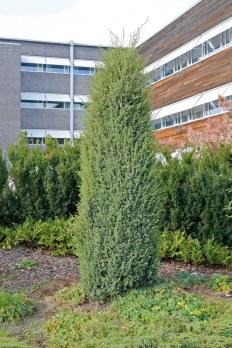 Träd-en, Juniperus communis f. suecica