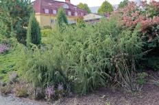 En, Juniperus communis 'Fontän'