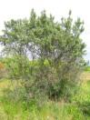 Havtorn, Hippophae rhamnoides, i gräsmark