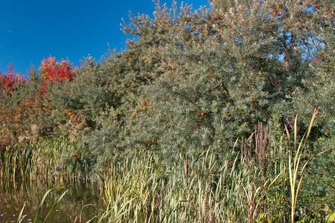 Havtorn, Hippophae rhamnoides 'Julia'