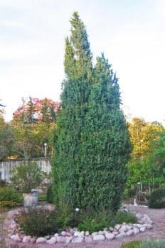 Träden, Juniperus communis f. suecica