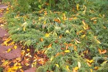 En, Juniperus communis 'Hornibrookii'