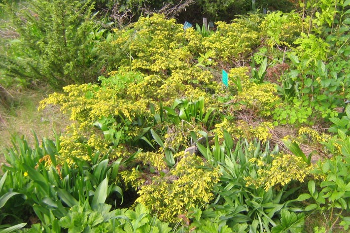 juniperus-communis-nana-aurea