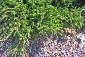 En, Juniperus communis 'Repanda'