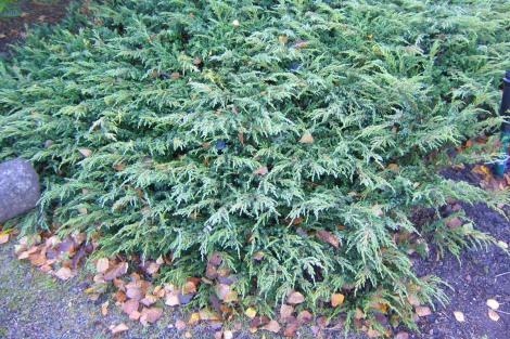 En, Juniperus communis 'Repanda', höst