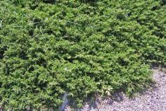 En, Juniperus communis 'Repanda', sommar