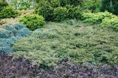 En, Juniperus communis 'Repanda', vår