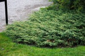 Krypen, Juniperus communis 'Repanda'