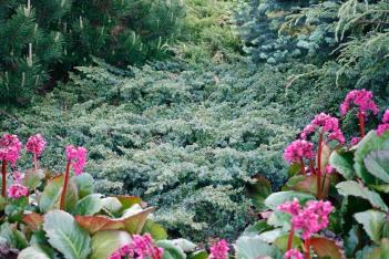 En, Juniperus communis 'Tromling'