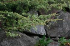 Krypen, Juniperus communis 'Hornibrookii'