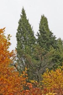 Pelar-en, Juniperus communis 'Urshult'