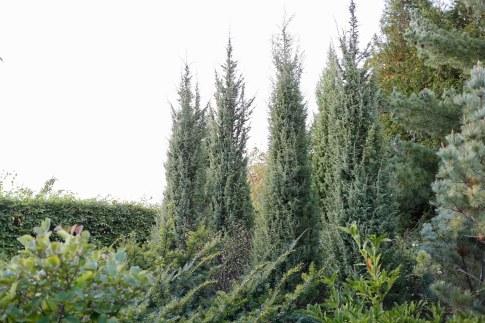 Pelar-en, Juniperus communis 'Vemboö'