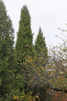 Pelaren, Juniperus communis 'Örsgänge'