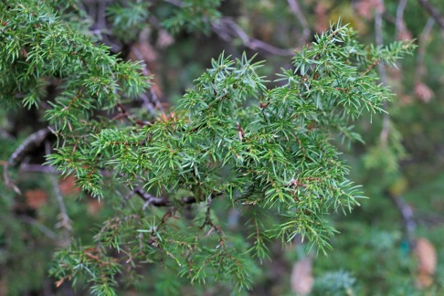 Pelaren, Juniperus communis 'Mayer'