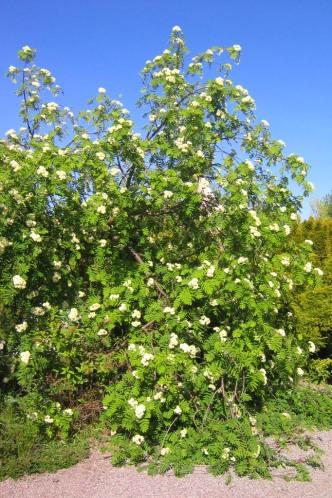 Hängrönn, Sorbus aucuparia 'Pendula'