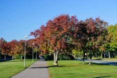 Rönn på grundstam av oxel (Sorbus intermedia)