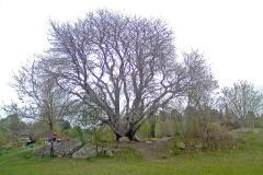 Rönnar som vuxit upp från stubbskott blir bra och starka klätterträd.