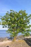 Rönn, Sorbus aucuparia ssp. aucuparia, vildform Gotland