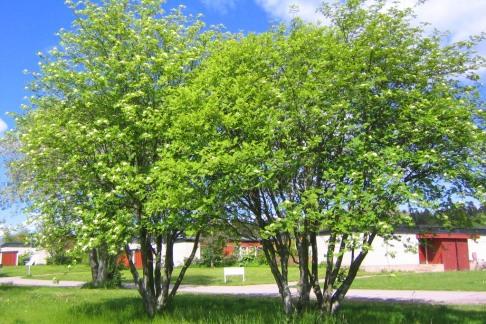 Rönn, Sorbus aucuparia ssp. aucuparia