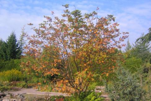 Nordrönn, Sorbus aucuparia ssp. glabra