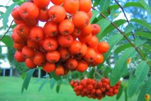 Sötrönn, Sorbus aucuparia var. edulis