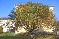 Sorbus aucuparia var xanthocarpa höst