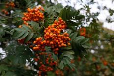 Sorbus aucuparia var xanthocarpa rönnbär