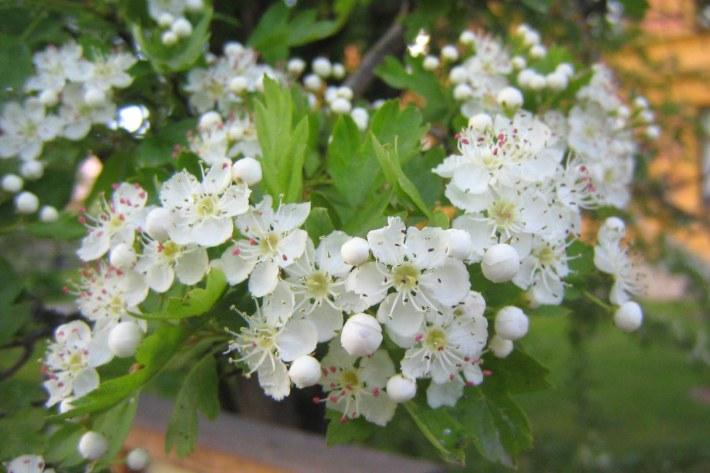 trubbhagtorn-blomma