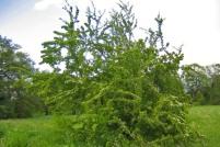 Trubbhagtorn, Crataegus monogyna