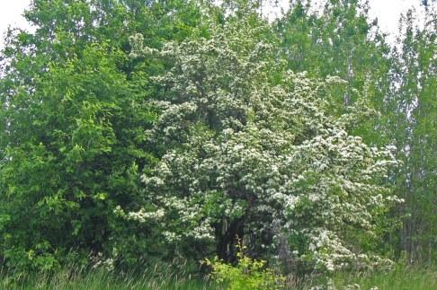 Trubbhagtorn, Crataegus monogyna, vildväxande