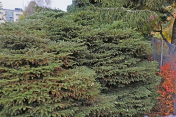 Dvärggran, Picea abies 'Nana Compacta' höst