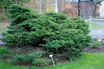Dvärggran, Picea abies 'Nana Compacta'