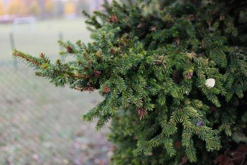 Dvärggran, Picea abies 'Obergaertner Bruns'