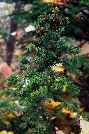 Dvärggran Picea abies 'Will's Zwerg'