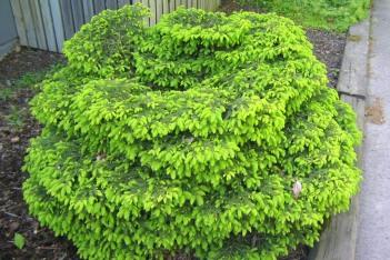 Fågelbogran, Picea abies 'Nidiformis'