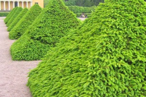 Formklippt gran, Picea abies