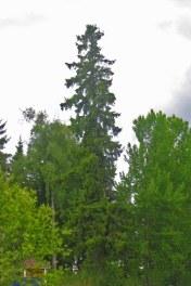 Gran, Picea abies, är vårt högsta inhemska träd.