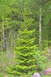 Gran, Picea abies, ungträd