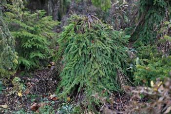 Hänggran, Picea abies 'Farnsburg' höst